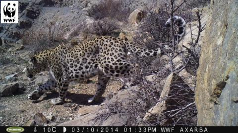 Do not shoot the leopard! - About 15 Caucasian leopards live in Azerbaijan