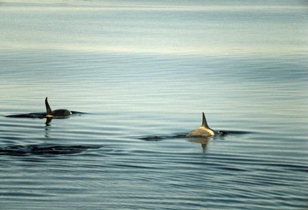 Third Group of Orcas From 'Whale Jail' Released Into Wild