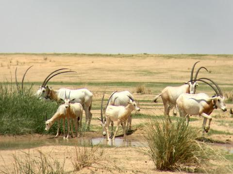 Sahelian plains of Chad welcome 40 Scimitar-horned Oryx calves in 2018