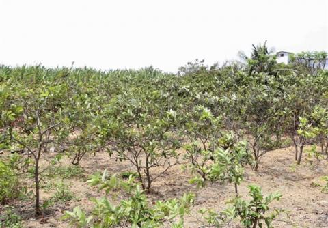 Saltwater intrusion affects Mekong Delta's fruit cultivation