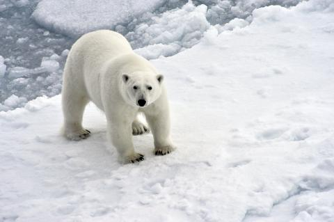 Expedition to study polar bears, walruses departs from Arkhangelsk