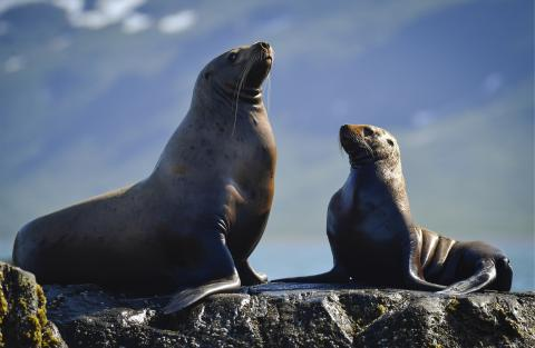 Where do seals hide their compasses? Seals can feel magnet fields, scientists say