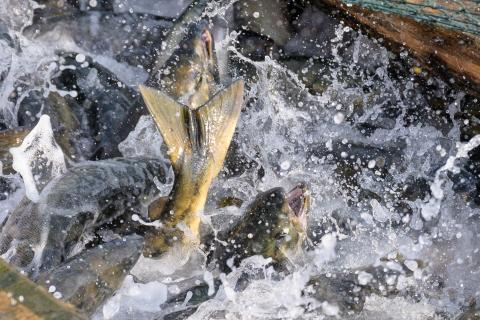 Regular fish transportation by Northern Sea Route: incentives and conditions