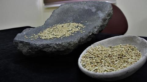 Ancient grain a remedy for food insecurity in E. Africa?