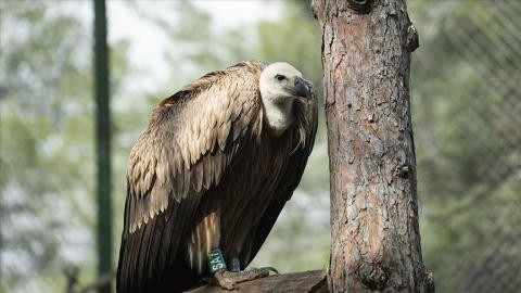 Turkish Cargo moves endangered vulture to Serbia