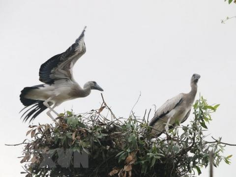 Asian openbill storks flock to Gao Giong cajuput forest in Dong Thap, VN