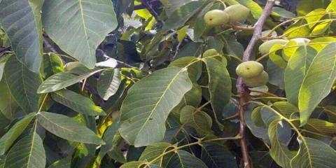 Sweida walnut production expected to reach 124 tons for the current season