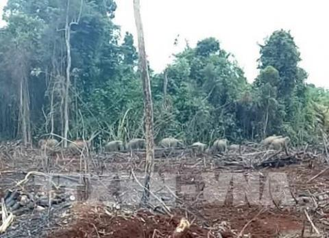 Dong Nai: Electric fence does little to deter hungry elephants